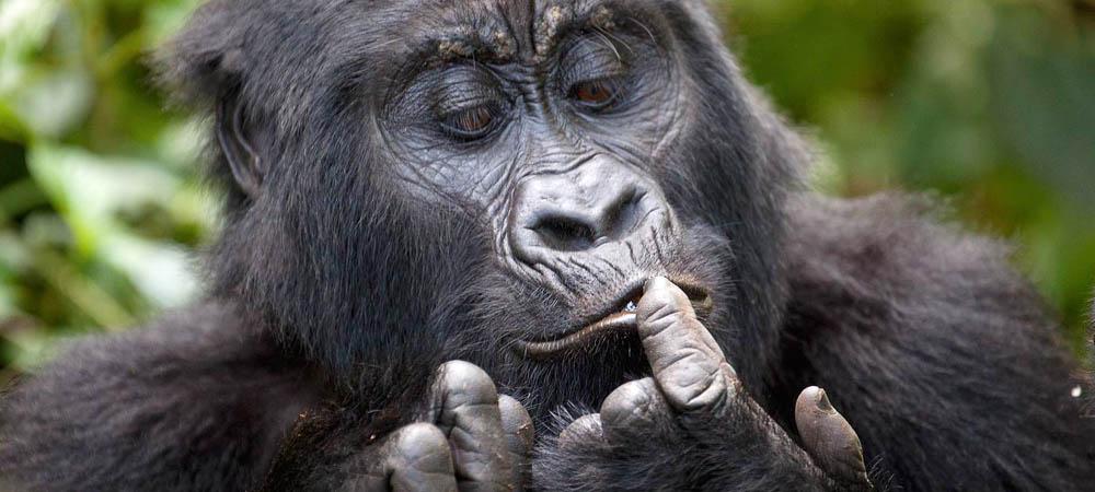 Uganda gorilla safaris, Uganda gorilla, Gorilla trip in Uganda