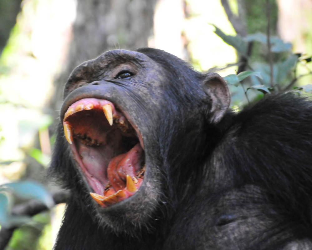 Chimpanzee tracking in Uganda, Kibale chimp tracking