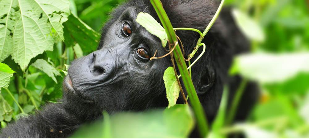 See Uganda gorillas, Gorilla afaris to Bwindi Forest National Park