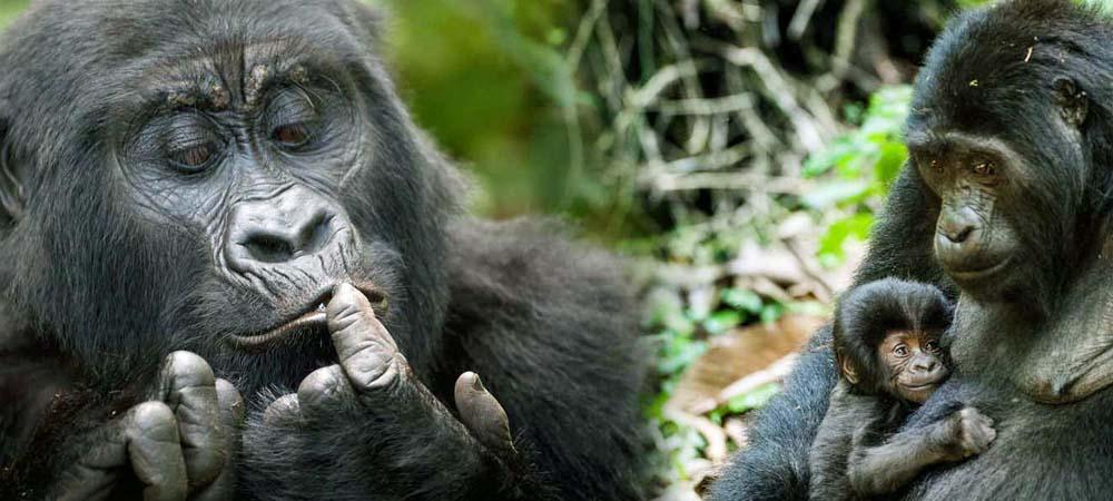 Gorilla tour in Uganda
