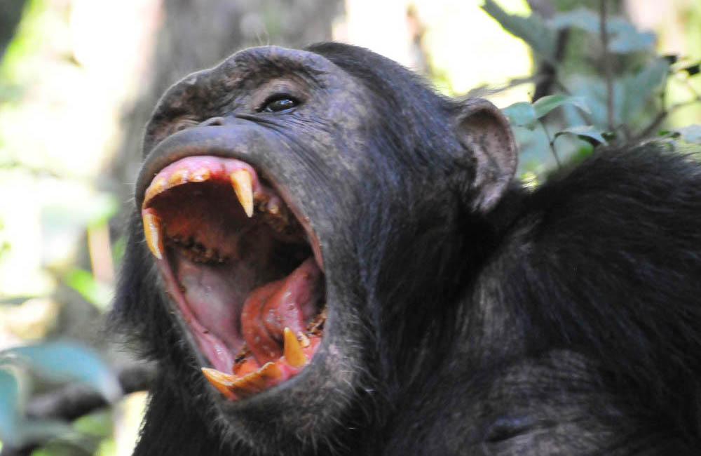 9 Days chimps & Gorilla safari tour in Uganda