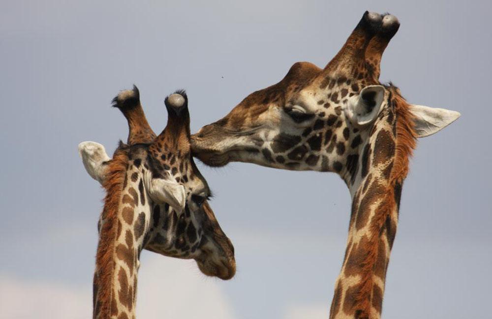 wildlife and gorilla tours and safaris in Uganda