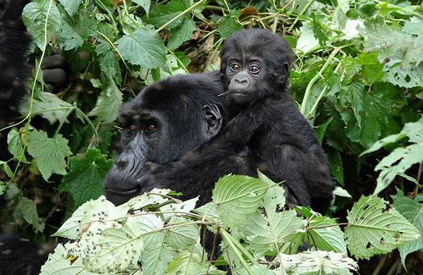 gorilla-trekking-bwindi-uganda-safari