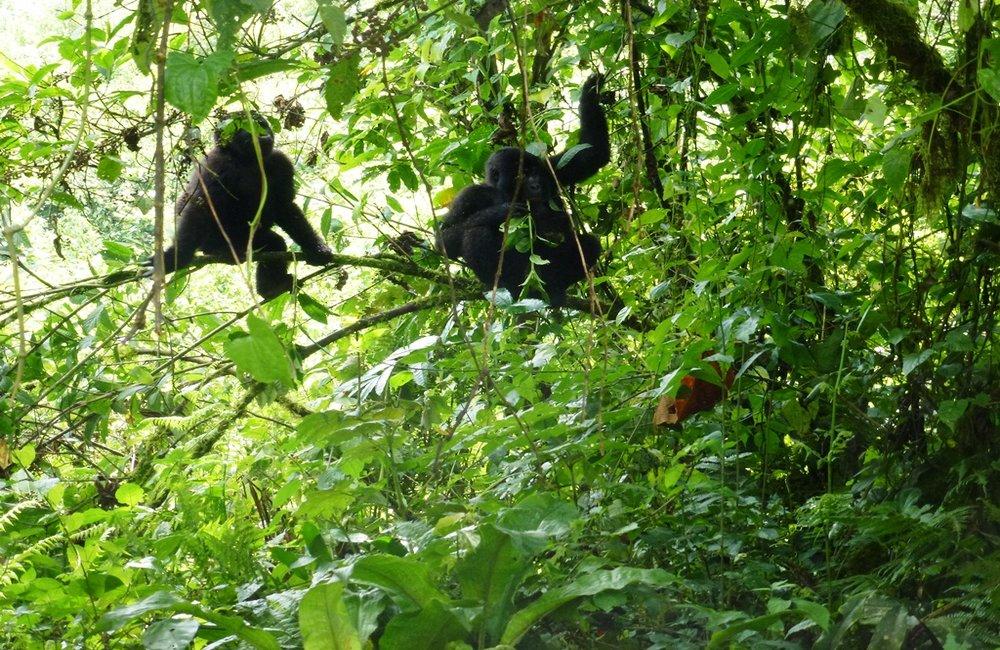 Uganda chimp tracking, Uganda Chimpanzee safari, Chimp safari Uganda