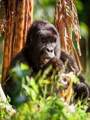 Gorilla trekking encounter Uganda