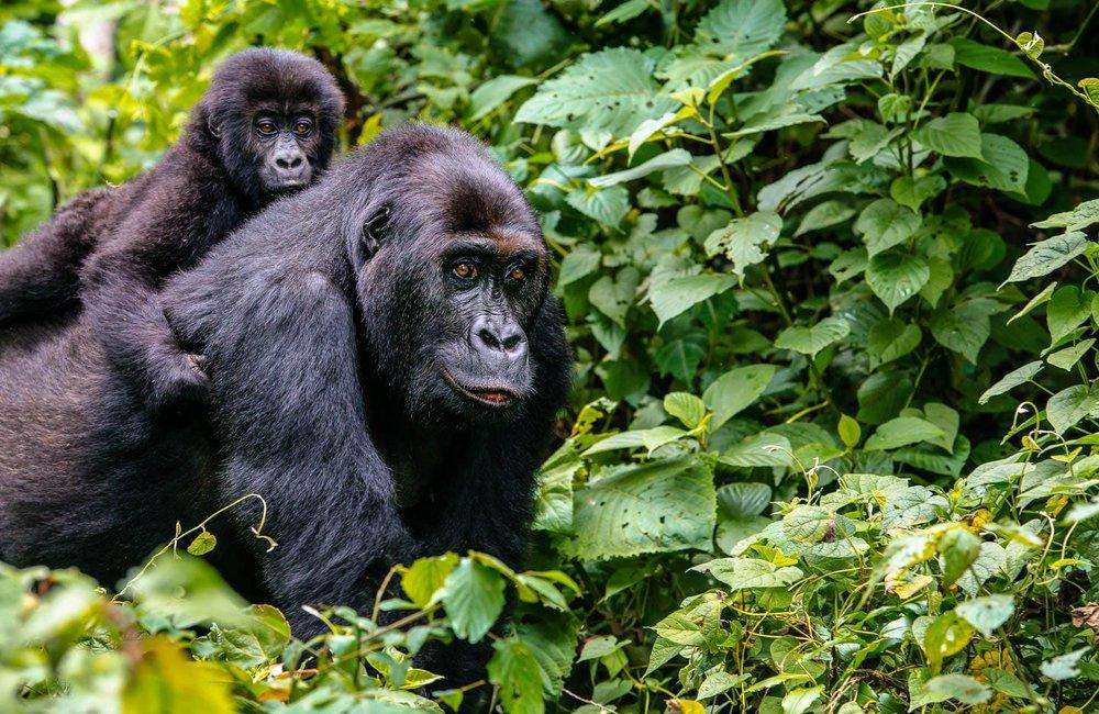 Buhoma gorilla trekking region,track gorillas in Buhoma
