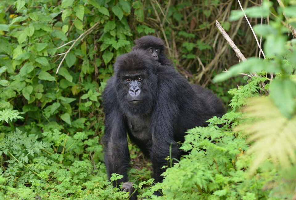 Gorilla tracking in Rushaga