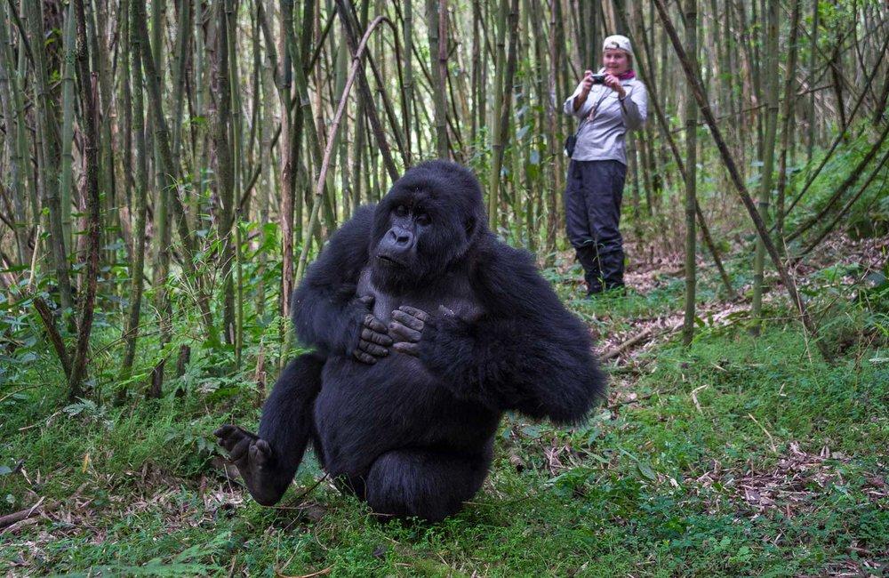 Best Time to track Uganda gorillas