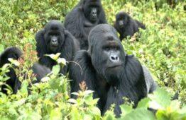 Luxury Gorilla trekking Uganda, Bwindi Luxury Gorilla Safari & Trips