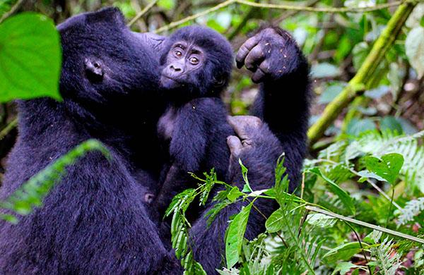 uganda-gorilla-adventure