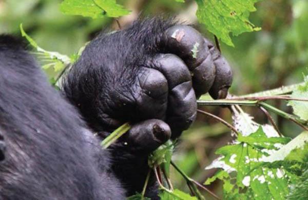 gorilla safari in Uganda, visit Uganda gorillas
