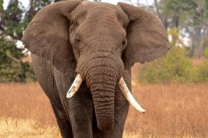 African big 5 safaris - What the African big 5 are and where to find them. Uganda Tours