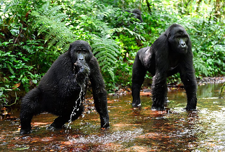 9 Top Facts about Bwindi Impenetrable National park