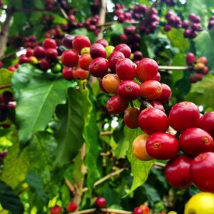 Coffee plantation sipi falls