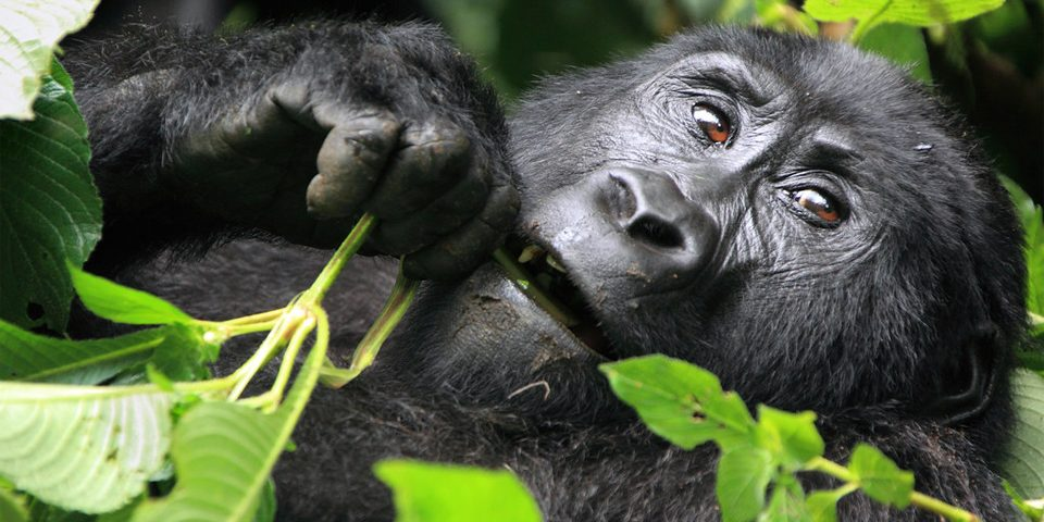 The 5 need to know facts to spice up your Uganda Safari