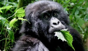 Mountain Gorilla diets. What do Gorillas Eat and what are the Gorilla types?