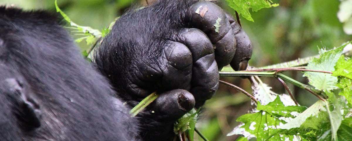 Gorilla in the jungle
