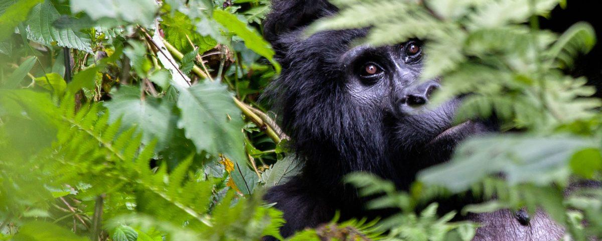 Gorilla tracking tour in Uganda