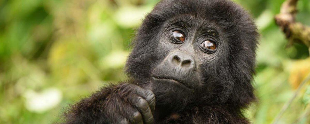 Your gorilla in Uganda
