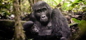 From Critically endangered to endangered – Mountain Gorillas safaris