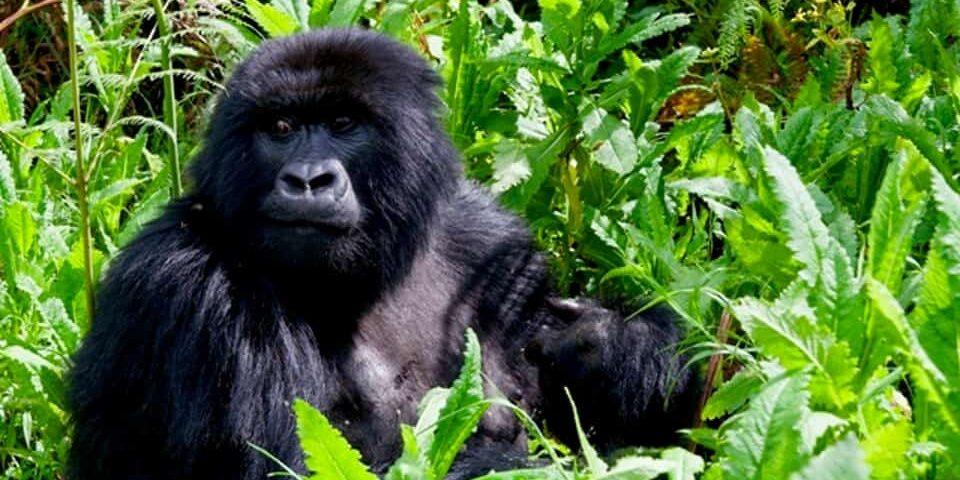 Mountain Gorilla Safaris – All you need to know before Your gorilla tour